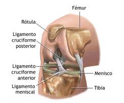 Los cuatro músculos del hombro